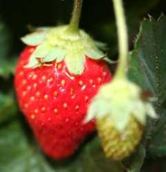 Cuida esas fresas