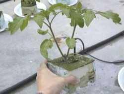 Manejo de plantas jóvenes