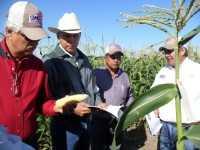 Abbott y Cobb presenta variedades de maãz dulce con alta tecnologãa genética