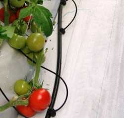 tomato_greenhouse