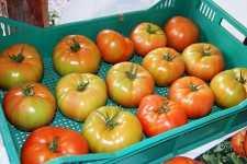 tomato tray