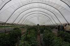 tomato_high_tunnels