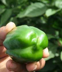 pepper_cold