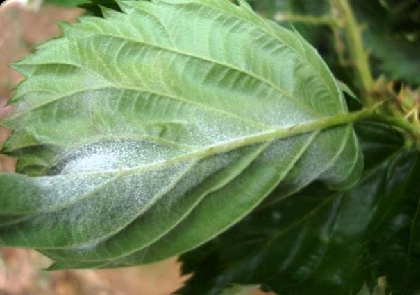 Fig. 1. Presencia de Cenicilla en lámina de hoja de zarzamora