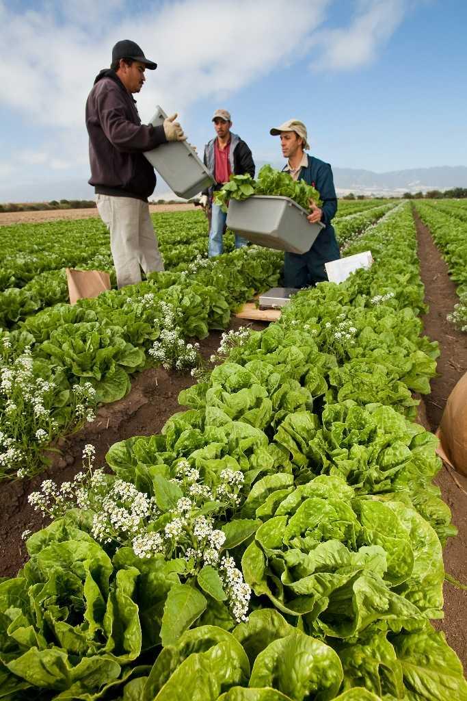 Trabajadores en Salinas, California, cosechando lechuga romana orgánica producida durante una prueba de campo en la que se sembraron plantas de aliso (flores blancas) entre las plantas de lechuga, para el control de áfidos. Foto cortesía de ARS/USDA.