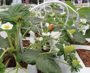 Después de exponer las plantas de fresa a la luz de focos LED, éstas dejaron de ser atacadas por ácaros rojos.