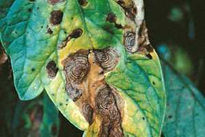 2.Fig. 2. Síntomas de enfermedad característicos causada por Alternaria solani, llamada comúnmente Tizón temprano.