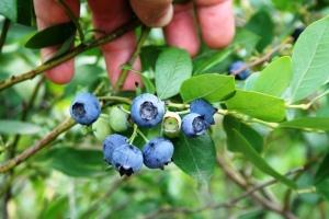 Las hojas de arándano contienen sustancias fenólicas antioxidantes con propiedades antimicrobianas.
