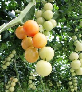 tomate de racimo