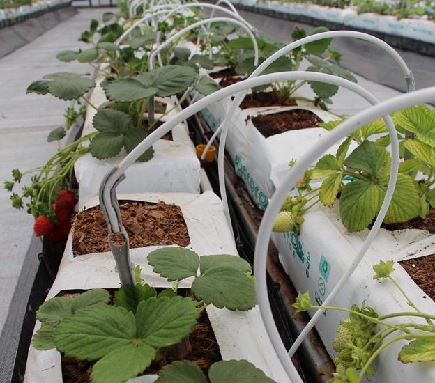 Acorde a los datos oficiales, se estima que las frutillas para el mercado de exportación generan 800 millones de dólares anuales.