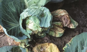 cabbage black mold