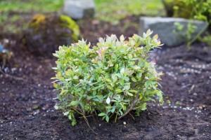 Young organic blueberry bush in a garden.