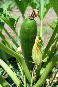 beauty shot zucchini