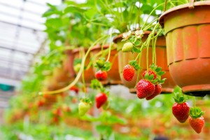 planta de fresa colgada