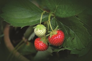 strawberry-plant-751178