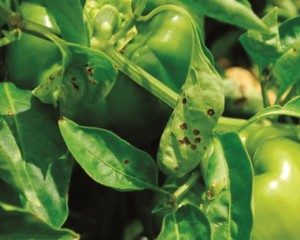 mancha bacteriana bell pepper