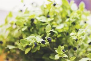 planta con arandanos maduros