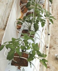 tomate sembrado en fibra de coco
