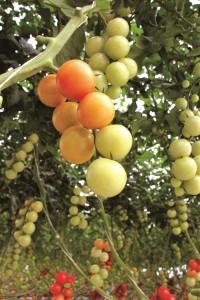 tomates cherry en vid