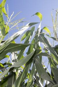 corn_AR (18)
