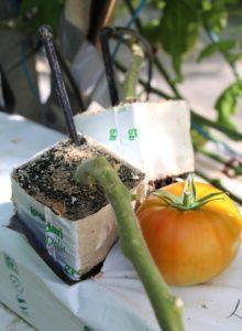 tomate en invernadero sustrato