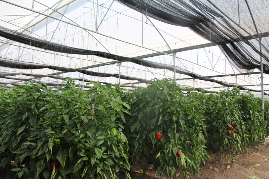 cultivo-de-pimiento-en-malla-sombra