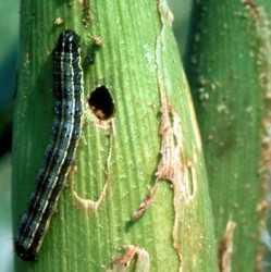 Resultado de imagen para GUSANO SOLDADO en maiz