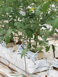 preparar el suelo para el cultivo de tomate