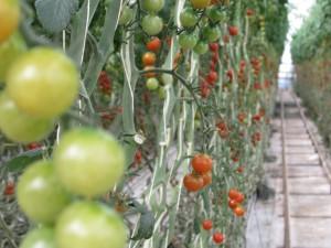tomates en vid