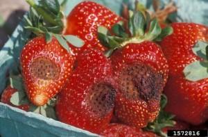 pudricion negra en fresa