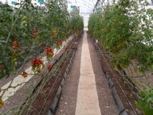 jorge flores invernadero con tomate