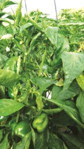 tswv pepper plant 2