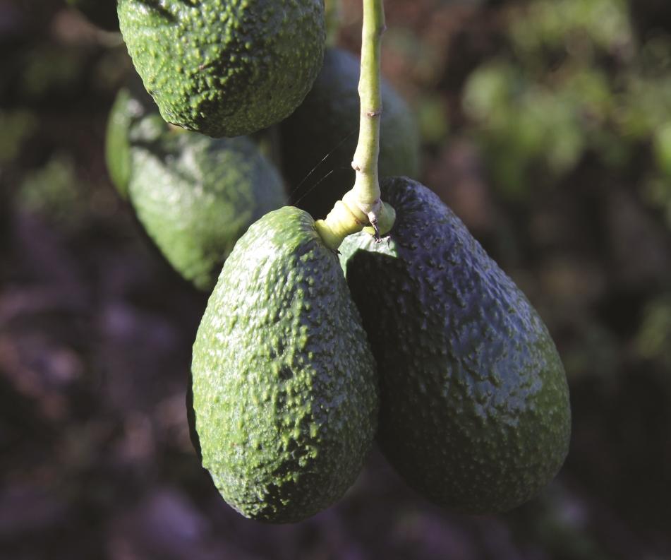 Los 10 cultivos mexicanos principales para el mercado de exportación