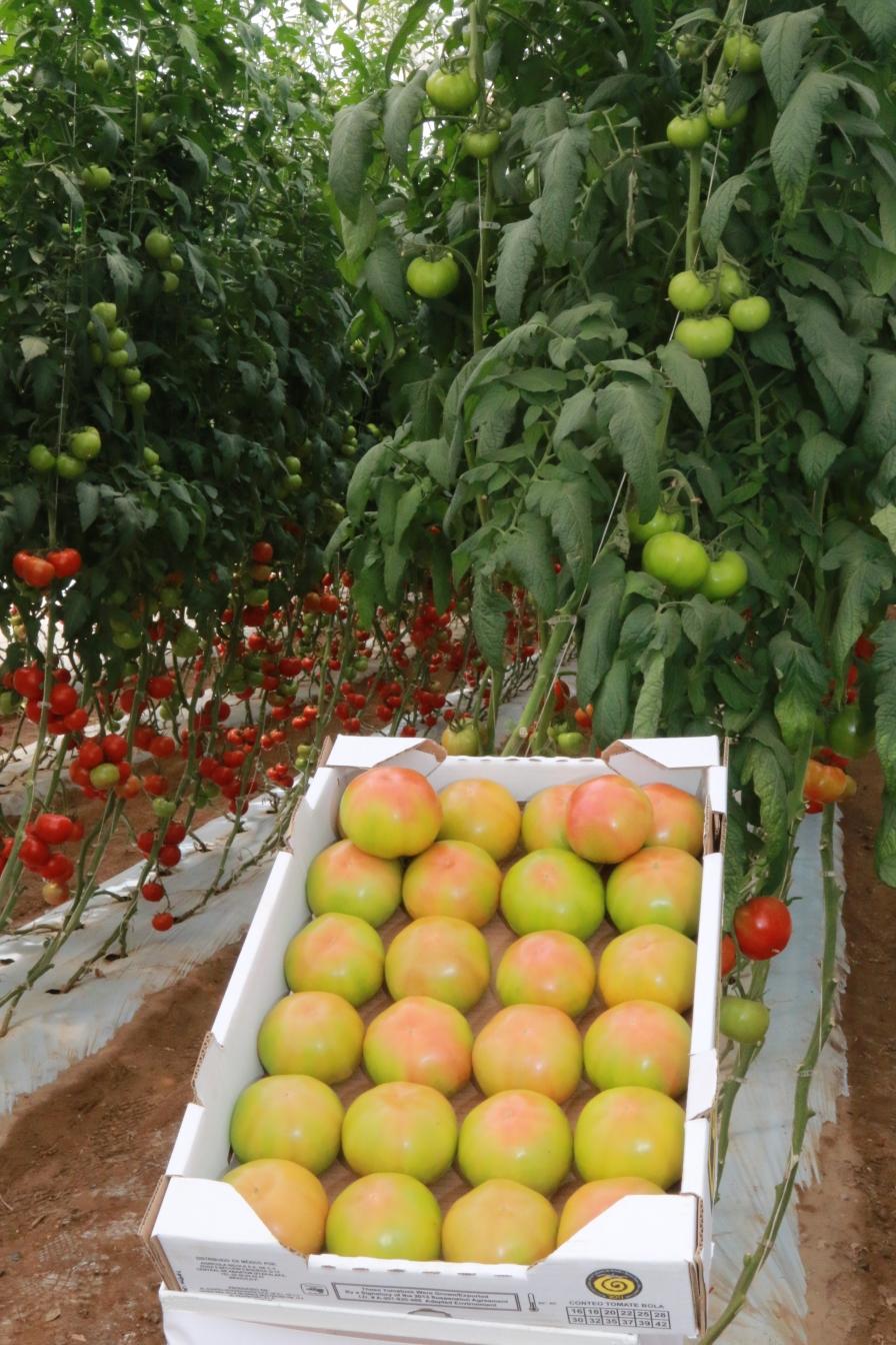 Excelentes oportunidades para tomateros