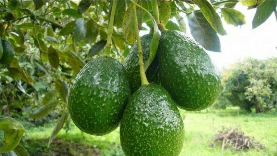 Las 7 frutas con mayor valor de exportación a EUA