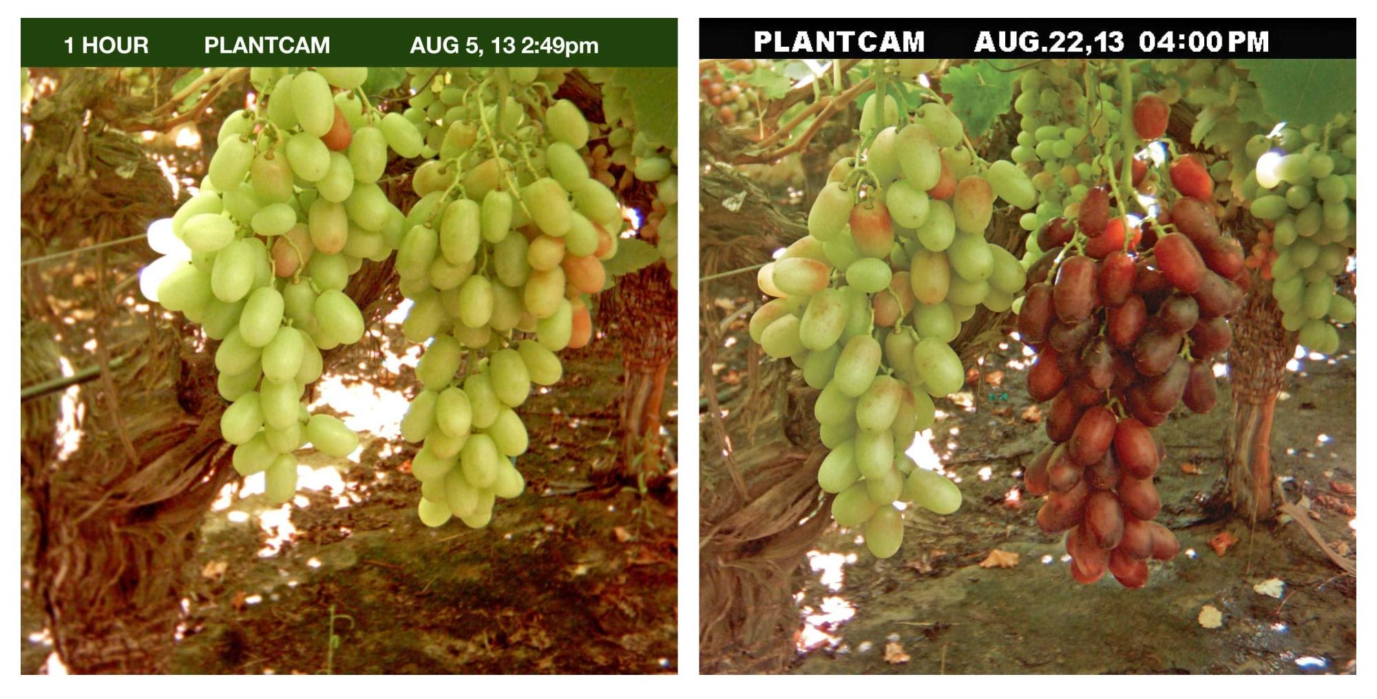 El regulador de crecimiento adecuado puede incrementar el retorno de inversión en uvas