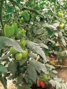 Produce mejores tomates con suelo fortificado con abonos orgánicos