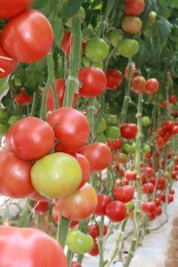 """Investigadores establecen """"mapa genético"""" para mejorar el sabor de los tomates"""