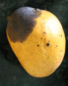 Antracnosis y otros impedimentos que afectan el mango mexicano