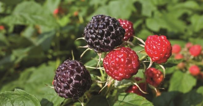 Influencia de la radiación ultravioleta-B y la tautocronía del rayo luminoso en la producción y calidad de los cultivos de berries