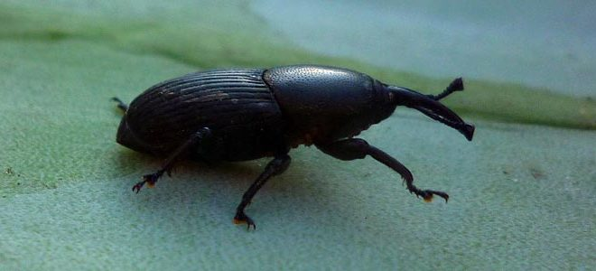 Hongos entomopatógenos para el control biológico