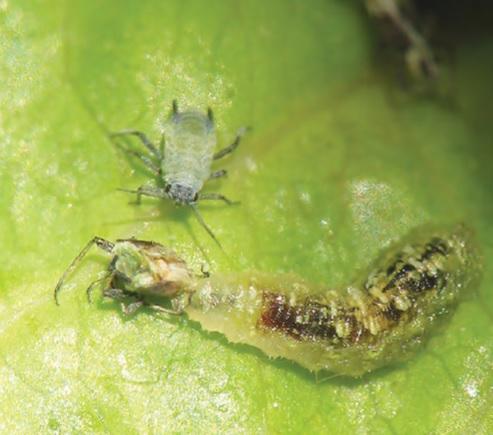 Cómo encajan los biocontroles en un programa tradicional de control de plagas