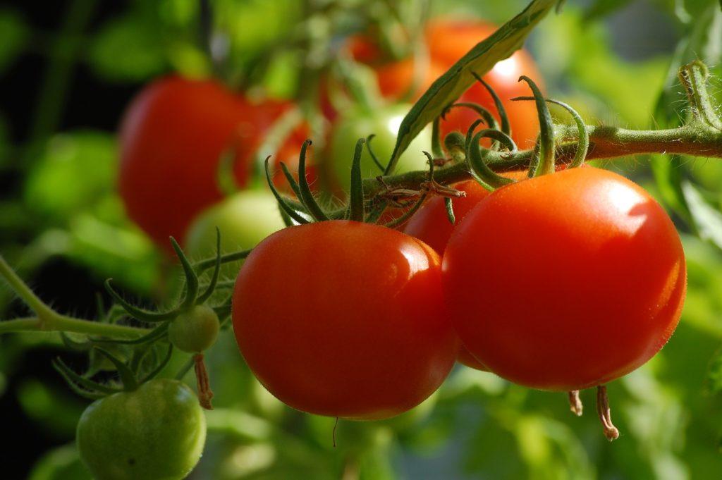 El virus rugoso del tomate, latente