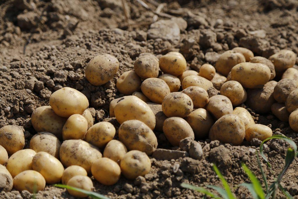 ¿Por qué es importante la edad fisiológica de los tubérculos de semilla de papa?