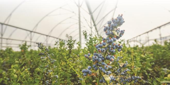 El futuro de las berries en México